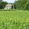 Garden Vineyard